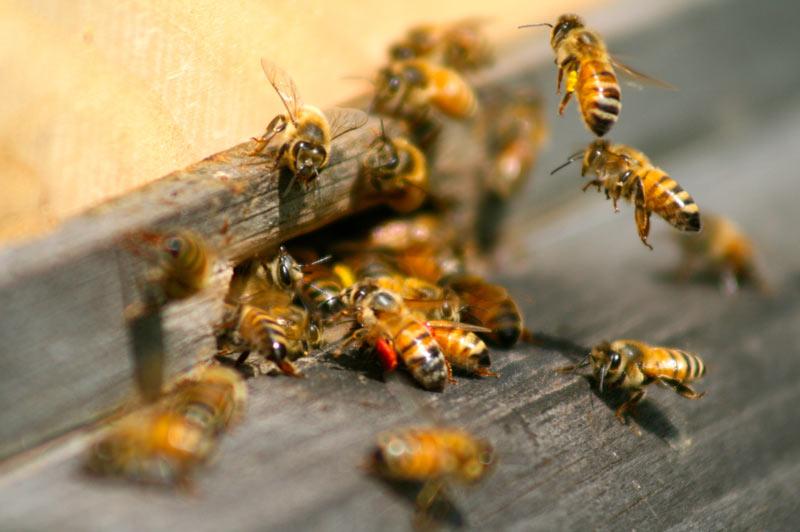 dietro-miele